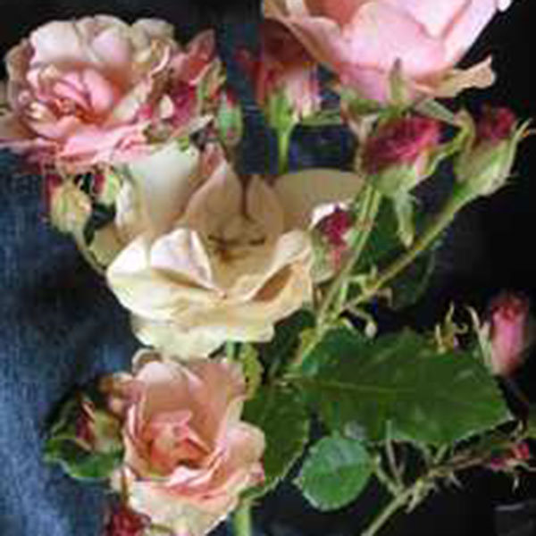 Greensleeves South Pacific Roses